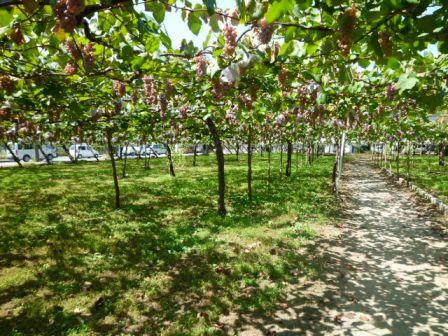 ブドウ農園 (2).JPG